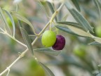 A oliveira, símbolo de Mediterrâneo