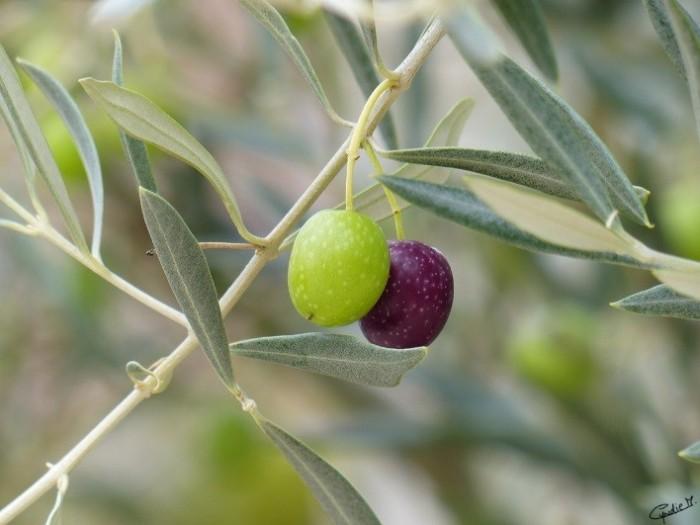 Aceitonas (2)