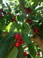 A colheita de cerejas